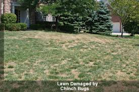 lawn damaged by cinch bugs