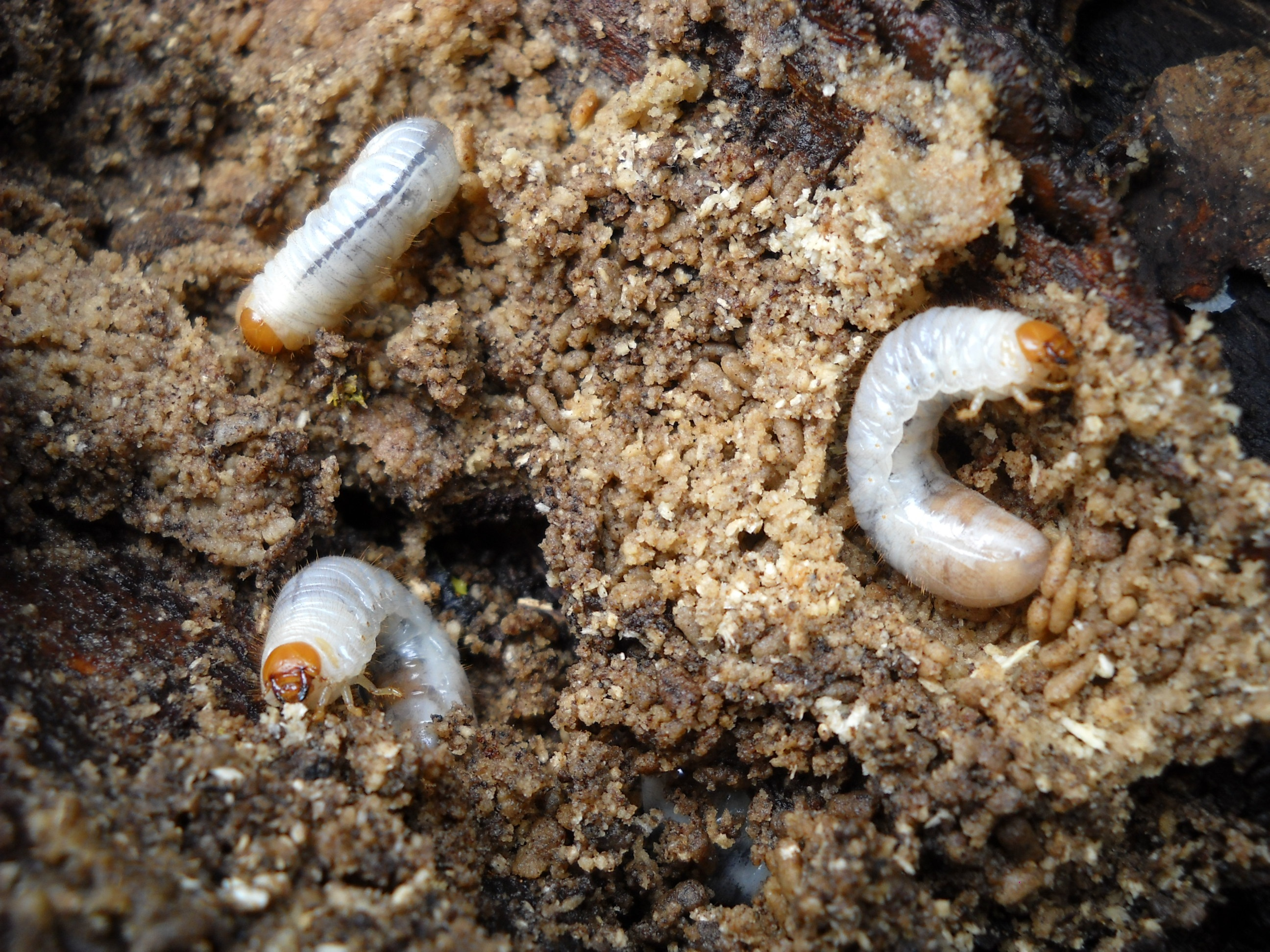 grubs in ground