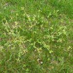 pring weeds chickweed