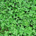 spring weeds clover