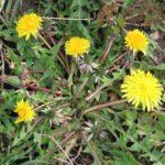 spring weeds dandelion